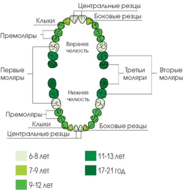 Схема появления постоянных зубов